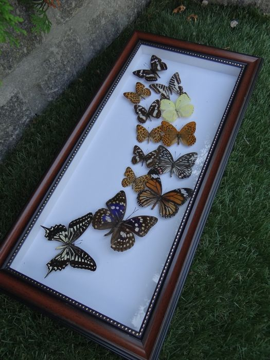 Interesting Exotic Butterfly display - de-luxe frame - 24 x 48cm