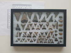 60+ Antwerp region shark teeth. Different species mounted in a riker. Sizes range from 6.5 cm ( biggest) to 1 cm (smallest)