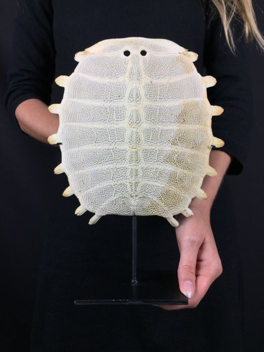 Chinese Softshell Turtle carapace skeleton, with stand - Pelodiscus sinensis - 20 x 27cm