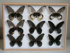 Fine Lepidoptera - stunning Alder Wood framed set of Great Mormon Butterfly variations - Papilio memnon - 40 x 30cm