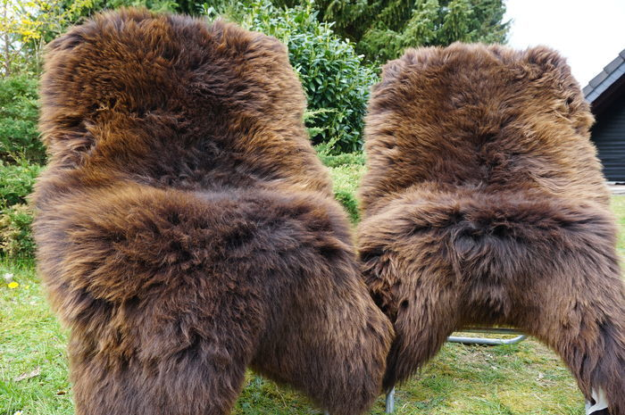 Pair of fine, natural golden-brown sheep skins - Ovis aries - 130 x 80cm (2)