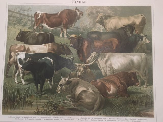 Cattle - Cows/Bulls from Meyers Kano Lexikon 5e auflage (1893–1897/1901).