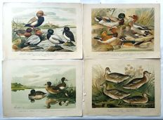 4 prints by various artists (20th century) - Various Ducks - 20th century