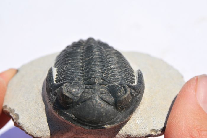 Perfect trilobite - Hollardops sp. - 6 cm