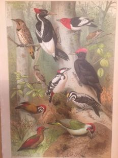 """5 ornithological prints by G. Mützel (1839 - 1893) - """"Woodpeckers/Pigeon/Lizards/Snakes/Insects"""" from Brockhaus Konversations Lexikon, 14e auflage (1892-1895 / 1920"""