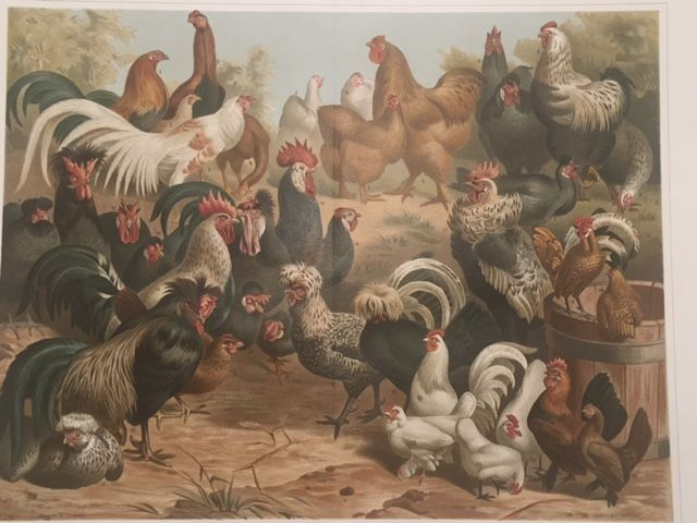 Chicken breeds from Meyers Kano Lexikon 5e auflage (1893–1897/1901).