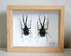 Fine pair of Darwin's Beetles, in Alder wood case - Chiasognathus granti - 15 x 18cm