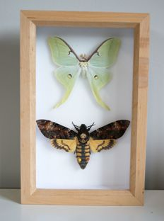 Moon Moth and Death's-head Hawkmoth - Actias luna and Acherontia atropos - 15 x 23cm