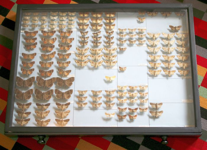 A very large Cabinet drawer containing 146 British Moths, with collection data and scientific names - 61 x 46cm