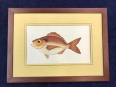Beautiful  Fish Prints, Coloured Lithorgraphs by Jonathan Couch, Framed  , 1877 ca.