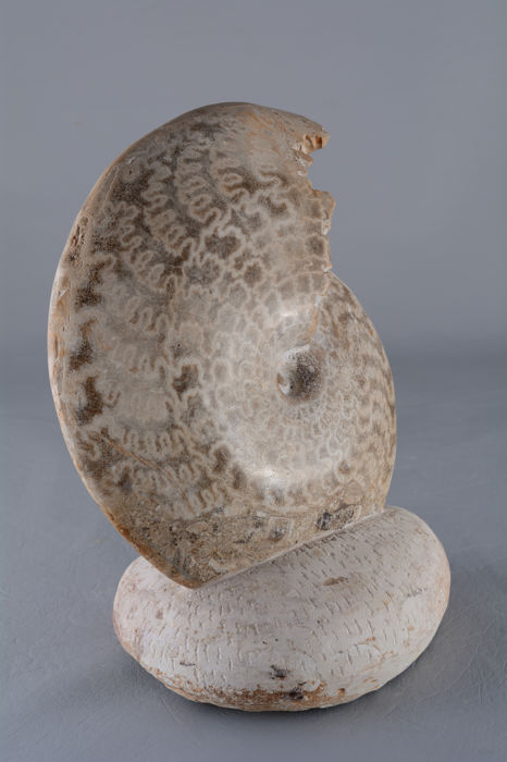 Very large ammonite  Wrightoceras munieri (Pervinquiére 1907) - height 36,5 cm