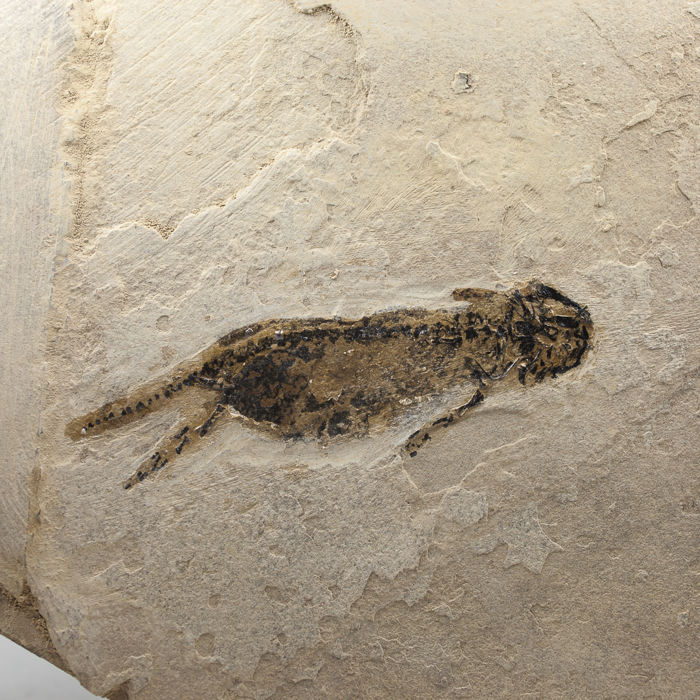 Exceptional Branchiosaur with skin and gills - Apateon sp. - 16,5 × 11,5 cm (specimen 6 cm)