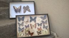 Vintage French Butterfly and Moth Displays - 39 x 26cm  (2)
