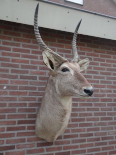 Best quality taxidermy - Waterbuck shoulder-mount - Kobus ellipsiprymnus - 75 x 55 x 140cm