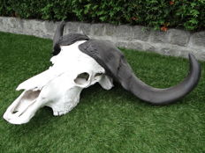 Fine vintage example of an African Cape Buffalo skull - Syncerus caffer - 94 x 55 x 25cm