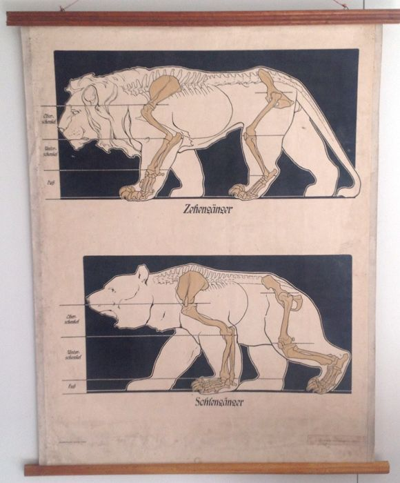 Animal anatomy school poster paper between wooden sticks. Motion method of lion and bear. Zehnengänger  & Sohlengänger