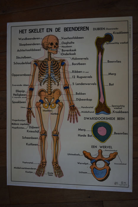 The skeleton and bones and our joints