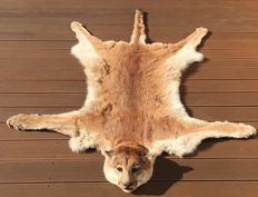 Best quality taxidermy - North American Puma skin, with head, claws and felt-lined - Felis concolor - 220 x 150cm - CITES Import ref. E-2946/02