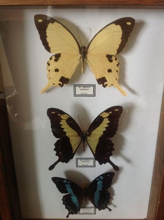 Fine African Swallowtail Butterfly specimens - Papilio dardanus,  Papilio phorcas, and Papilio oribazus - 21 x 31cm