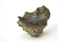 Fine Tyrannosaurus Tooth in matrix - Nanotyrannus lancensis - 45mm