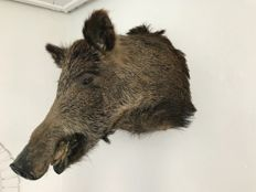 Vintage taxidermy - Wild Boar head - Sus scrofa - 40 x 40cm