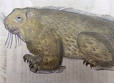 Original woodcut leaf with 2 wood engravings - Conrad Gesner - Beaver. Hamster - 1669
