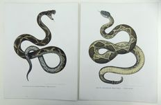 2 fine folio lithographs by Leopold Fitzinger - Reptiles. Snakes. Pit Viper; Rattlesnake - early colour lithography heightened with hand finish - 1860