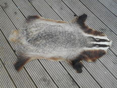 Taxidermy - European Badger skin, with associated signs of age and minor repair - Meles meles - 95 x 65cm