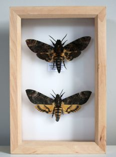 Framed Death's-head Hawkmoths - Acherontia lachesis and Acherontia styx - 23 x 15cm