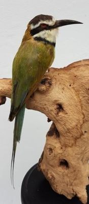 Fine taxidermy - White-throated Bee-eater - Merops albicollis - 28cm