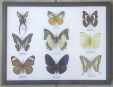 Colourful Butterfly collection in wooden frame – 32 x 25cm