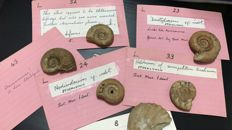 Log of several British Ammonites - Peronocetas - 2 to 4cm - 15 to 25gm