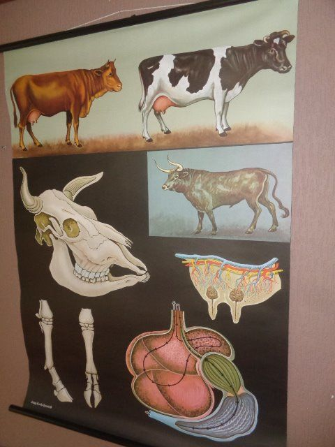 "Old anatomical school poster by Jung Koch Quentell ""The cow, the bovine"""