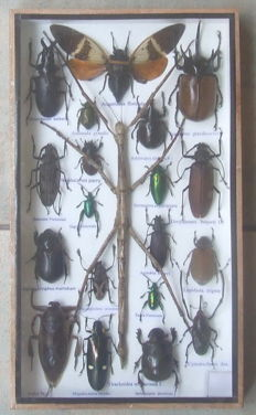 Fine, Exotic Insect collection, with Stick Insect - in wood display case - 35 x 20cm