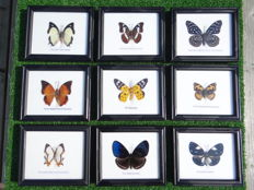 Lot comprising a good collection of Exotic Butterflies in fine display frames - 14 x 12cm  (9)
