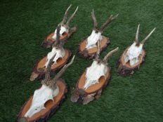 Roedeer - collection of full and part-skulls on natural wood shields - Capreolus capreolus - 24 to 30cm  (6)
