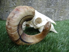 Large and nicely prepared Ram skull with fine, curved horns - Ovis aries - 35 x 25 x 15cm