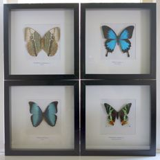 A collection of framed Exotic butterflies - 30 x 30cm  (4)