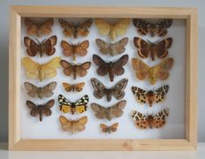 Lot comprising a stunning Alder Wood framed set of British Moths (22), named and with scientific data - 30 x 23cm
