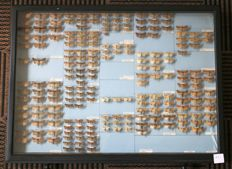 A very large Cabinet drawer containing 207 British Moths, with collection data and scientific names - 61 x 46cm
