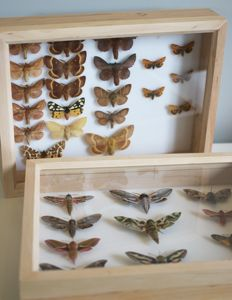 British Moths, in  Alder Wood frames - named and with scientific data - 30 x 23cm  (2)