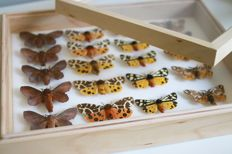 Lot comprising a framed set of British Moths - named and with scientific data - 30 x 23cm
