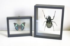 Vintage entomology - Giant Atlas Beetle and Brush-footed Butterfly - Chalcosoma atlas and Panacea prola - 20 x 17cm and 15 x 13cm  (2)