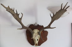 Vintage taxidermy - large Fallow Deer Antler set, with skull, on walnut-type slice shield - Dama dama - 80cm