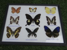 Exotic Butterflies in de-luxe framing - 32 x 25cm