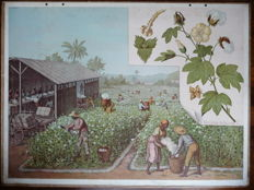 Old school poster with the cultivated crops of the cotton harvest and the date harvest.
