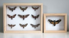 British Hawk Moths, collection and single frame - named and with scientific data - Sphingidae sp. - 30 x 23cm and 18 x 15cm  (2)