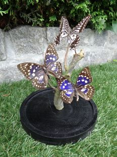 Unusual Exotic Butterflies under glass dome - 24 x 17cm