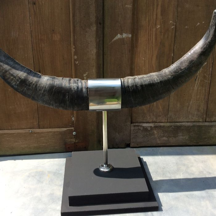 Decorative Water Buffalo Horns on Chrome stand  - Catawiki