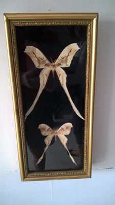 Vintage pair of Copiopteryx Moths - Saturnidae sp. -39.5 x 19.5 cm